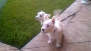 Westie Puppies Barking