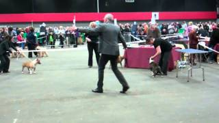 Miniature Bull Terriers, Limit Dog, Edinburgh Championship Show. Judge Mr D Clarke