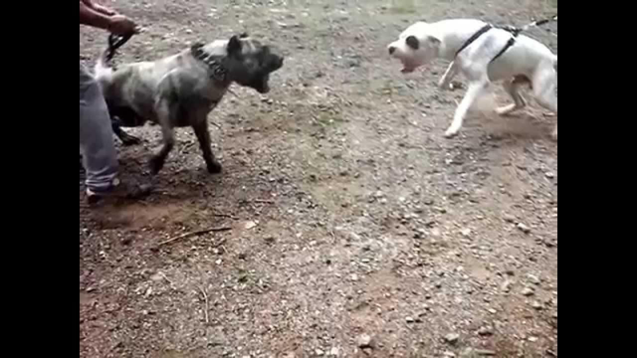 PRESA CANARIO VS DOGO ARGENTINO - YouTube