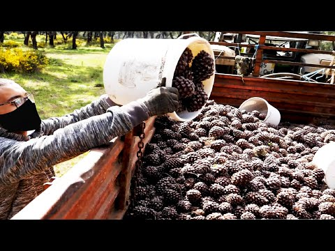 Awesome Pine Cultivation Technology - Pine Cone Harvesting Machine - Pine Nut Processing in Factory