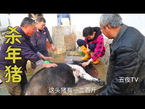 河南農村殺年豬,200多斤的大肥豬,4個人齊上手(內有宰殺畫面,不適者勿入) 【五夜TV】