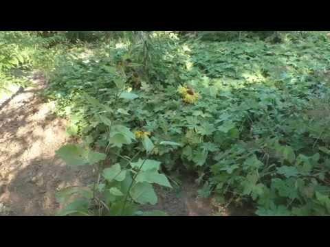 Почвопокровное растение - герань крупнокорневищная.