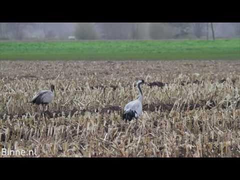 Kraanvogels in Duitsland