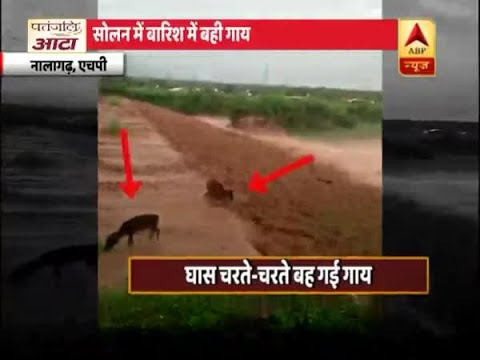 Caught On Camera: Cow With A Calf Swept Away By Floods, Later Rescued   ABP News