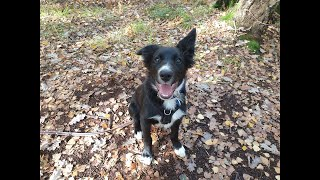 Marco the 4 month old Border Collie puppy - 3 Weeks Residential Dog Training