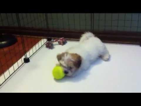 Liza Minelli Teacup Malshi Maltese Shih Tzu Puppy For Sale In