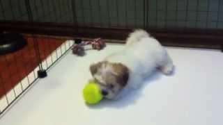 Liza Minelli - Teacup Malshi (maltese & Shih-tzu) Puppy For Sale In Las Vegas Nv