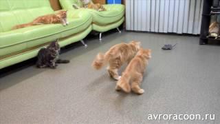 Котята мейн куны охотятся на крысу