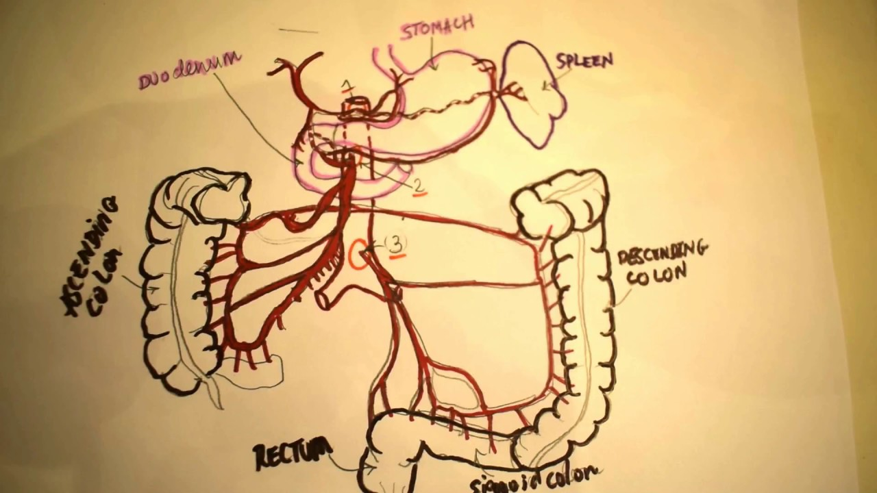 Blood Supply of Viscera - Learn anatomy by Drawing (the best way ...