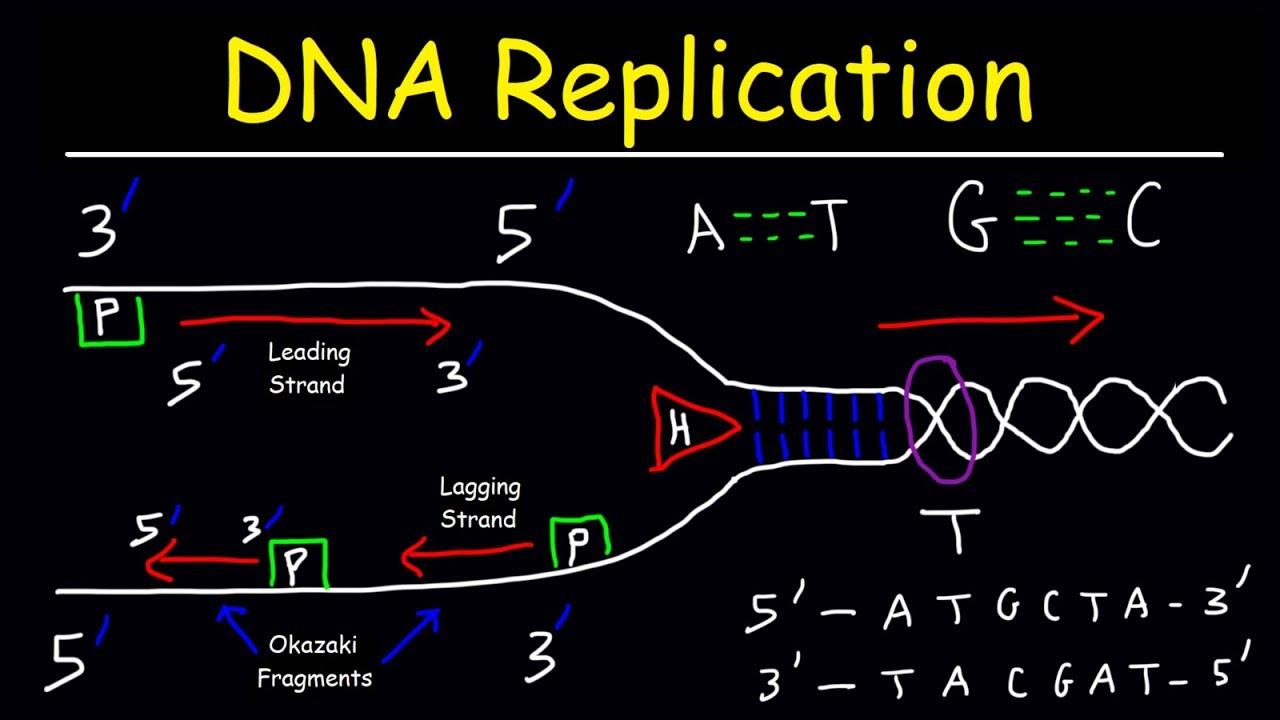 Dna Replication Leading Strand Vs Lagging Strand Okazaki Fragments Youtube