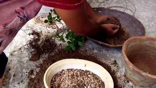 Repoting of nursery plant in shallow  pot an making bonsai ,easy simple tips  hindi  and urdu