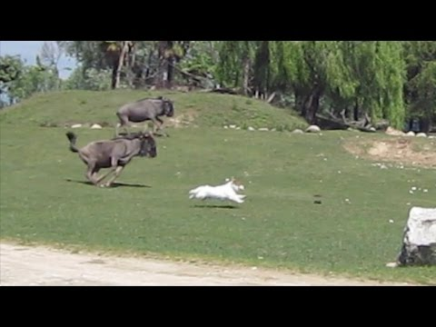 "When Dog Escapes Car in Safari Park [""Who Let the Dogs Out""-Edit]"