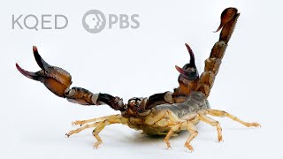 Scorpions Are Predators With a Sensitive Side | Deep Look
