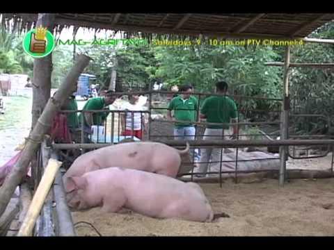 Babuyang Walang Amoy/Natural Hog Raising; Dagupan's Best Special Lechon Part 1