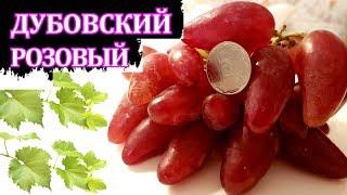 Виноград ДУБОВСКИЙ РОЗОВЫЙ (Grapes Dubovskiy Pink)