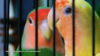 Peach Faced Lovebird Sounds 4 Hours  Wild Green & Lutino