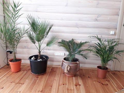 Комнатные пальмы Ховея, Цикас, Вашингтония, Финик