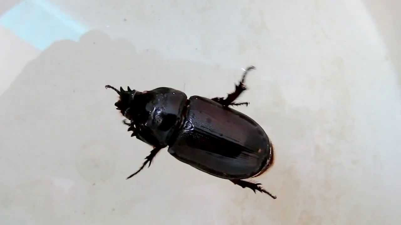 Coconut rhinoceros beetle - YouTube