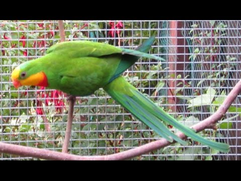 Hand feeding superb parrot