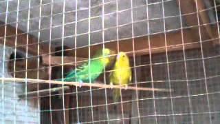 parakeets mating ritual