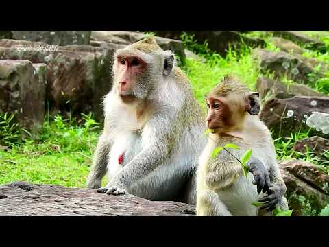 Jane needs more nutritious food for her pregnancy | Monkey Jane very concerns about its delivery