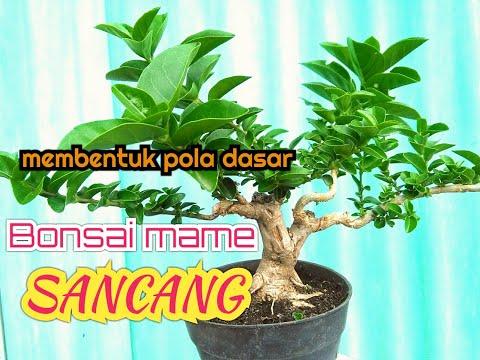 PRUNING U0026 WIRING BONSAI SANCANG MAME