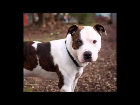 sch nster hund der welt pitbull youtube. Black Bedroom Furniture Sets. Home Design Ideas