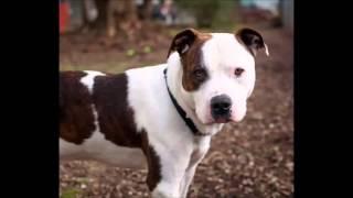 Schönster Hund der Welt (Pitbull)