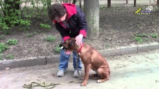 Дрессировка собак, риджбек, использование бинта при обучении апортировке
