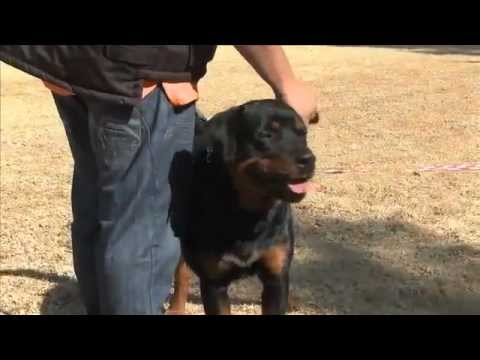 rottweiler-|-all-you-need-to-know-about-this-breed