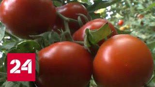 Турецкие производители помидоров ждут возвращения на российский рынок