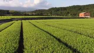 Green tea plantation and Mt. Fuji, Japan