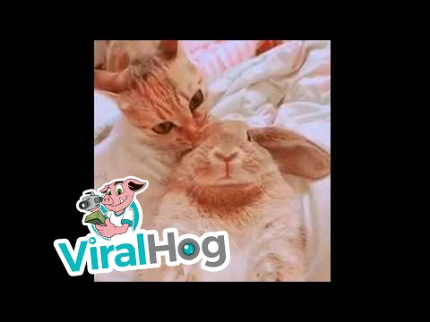 kitty-cleans-bunny-buddy-viralhog