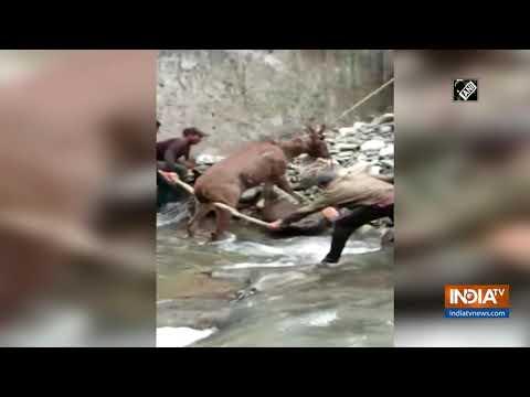 Forest dept rescues Sambar deer in Shimla