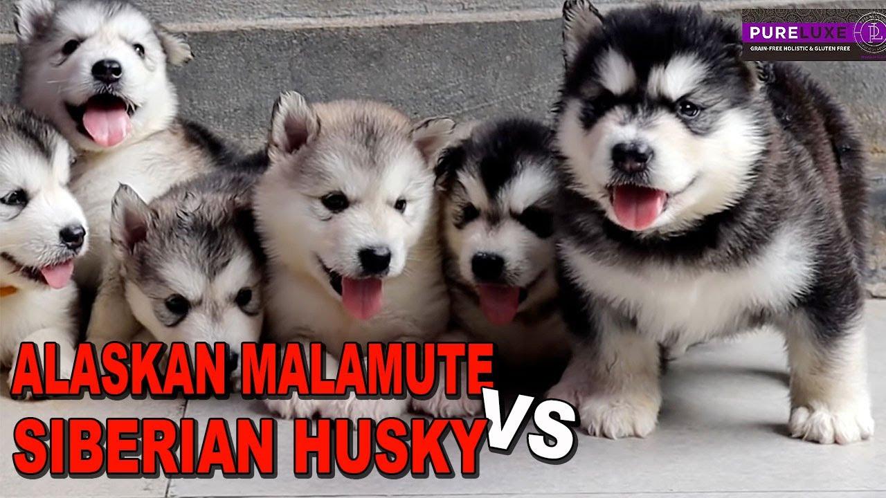 Anjing Alaskan Malamute Vs Siberian Husky Youtube