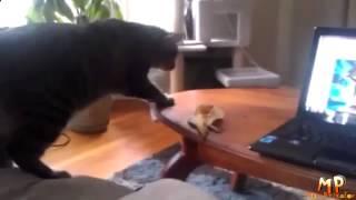Смешные кошки! приколы,развлечения,смешное видео,видео приколы,приколы видео,юмор,приколи Смешные пр