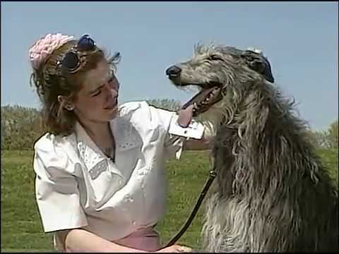 Scottish Deerhound - AKC Dog Breed Series