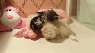 Teacuppuppiesstore ♥ Shorkie Shihtzu Yorkie Maltese Puppies ♥ Teacuppuppiesstore.com