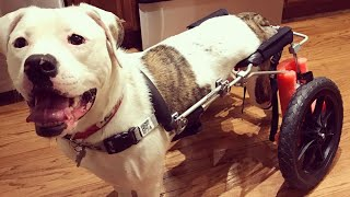 Paralyzed Pup Named Pigeon Overjoyed as She Receives New Wheelchair