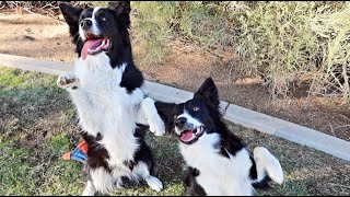 Rescued Border Collie's Show Off Their Tricks!!