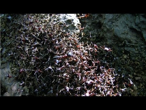 SAFARI ANTS (Dorylus) crossing the path - Kilimanjaro, Tanzania
