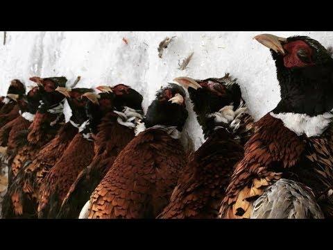 European Pheasant Hunt
