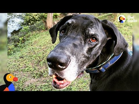 download Great Dane Dog Becomes Paralyzed Overnight | The Dodo