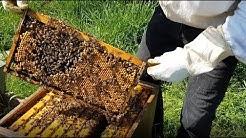 6. Vollständige Durchsicht eines Bienenvolkes im April