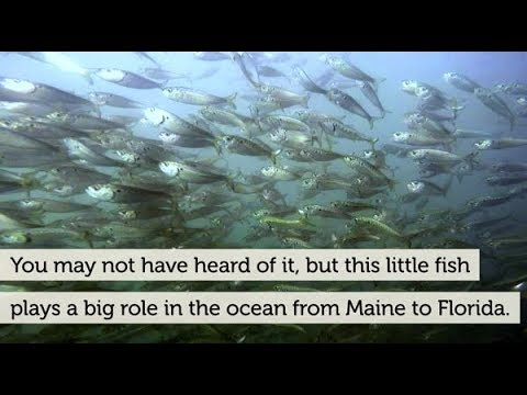 Time to protect most important fish in the sea youtube time to protect most important fish in the sea publicscrutiny Image collections