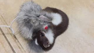Домашняя ласка уничтожает мышь