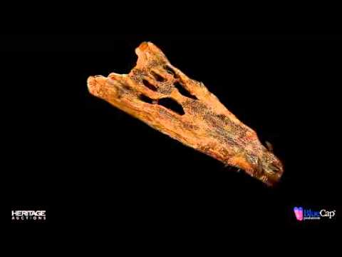 RARE FOSSIL CROCODILE SKULL Borealosuchus sp. Late Cretaceous Hell Creek Formation Garfield...