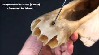 резцовая кость домашних животных