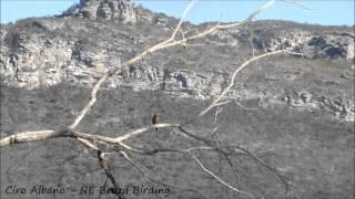 Spotted Piculet - Pica-pau-anão-pintado - Picumnus pygmaeus
