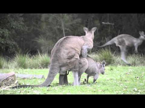 Video clip hay Giant Kangaroo mating mating animal(ZhHxZ8 ...